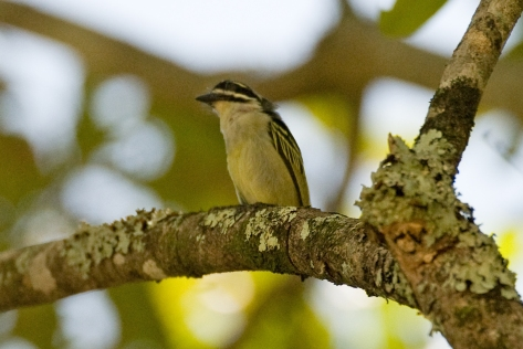 Yellow-rumped Tinkerbird at Aberfoyle
