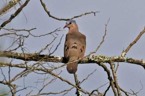 Blue-spotted Dove