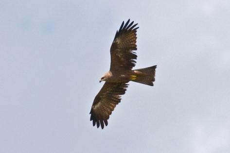 Western Marsh-Harrier