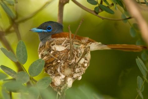 Paradise Flycatcher on the nest
