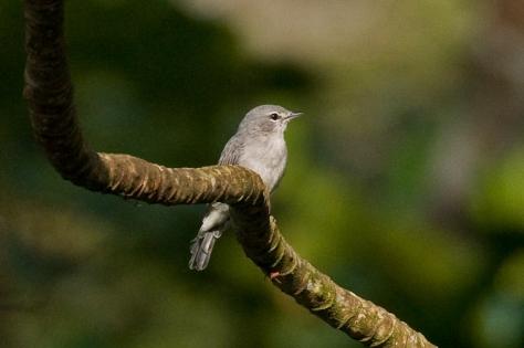 Grey Tit-Flycatcher