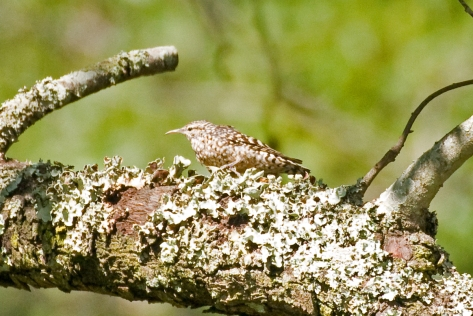 Spotted Creeper well camouflaged on lichen-covered branches