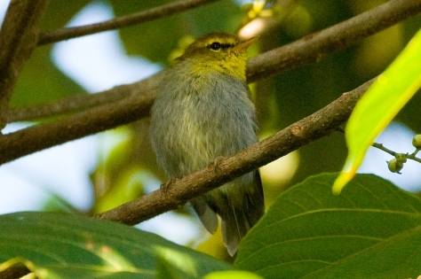 Yellow-throated Woodland-Warbler