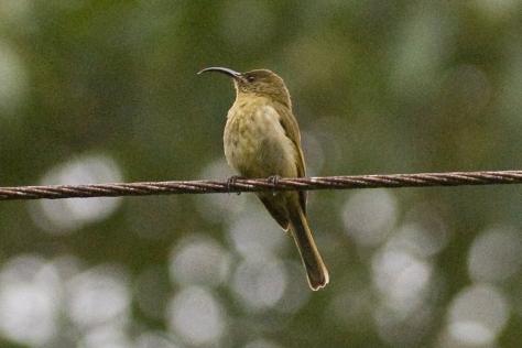 Olive Sunbird at Seldom Seen