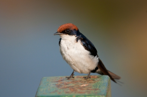 Wire-tailed Swallow at Luvuvhu River