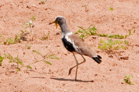 White-fronted Plover in the Luvuvhu River