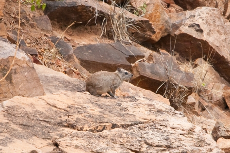 Yellow-spotted Hyrax (Dassie)