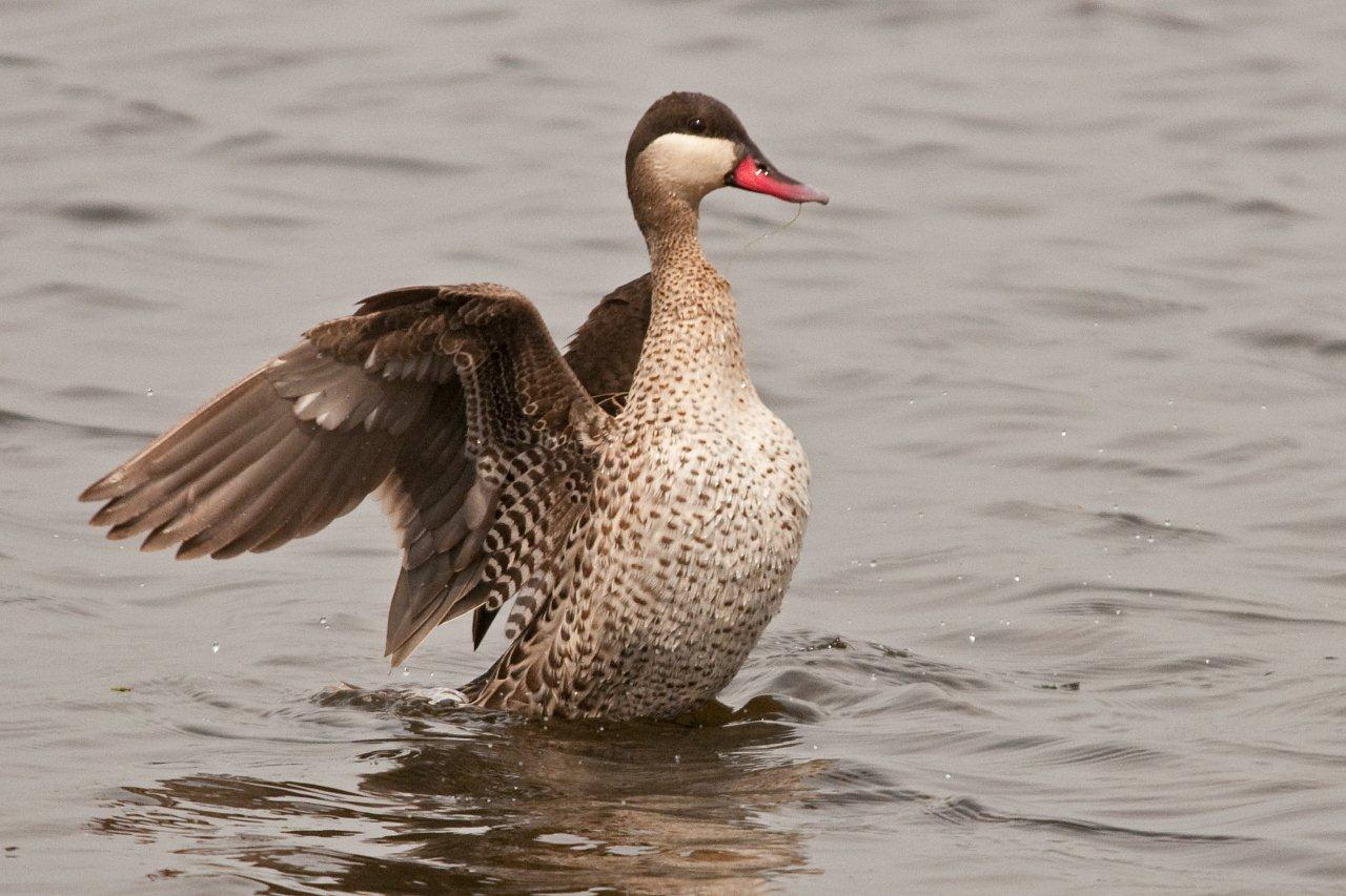 Red-billed Teal