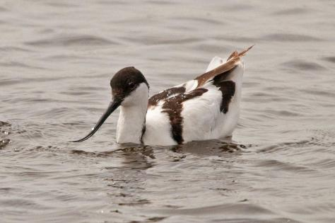 Pied Avocet looking elegant