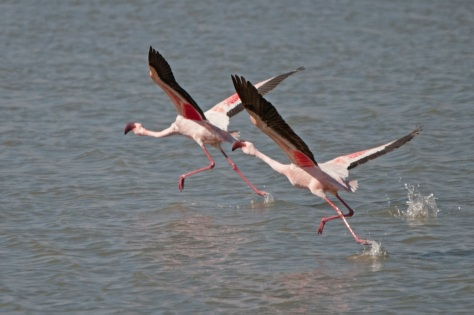 Lesser Flamingo, Barberspan