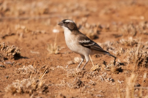 White-browed Sparrow-Weaver, Barberspan