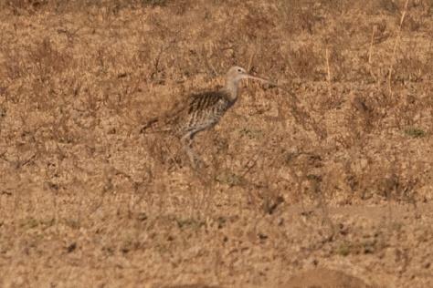 Eurasian Curlew, Barberspan