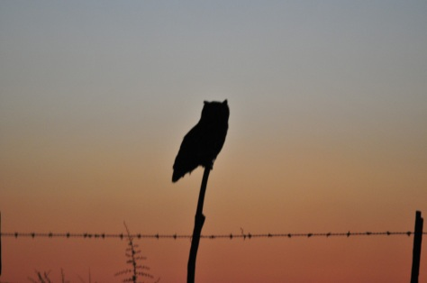 Spotted Eagle-Owl, Ottosdal