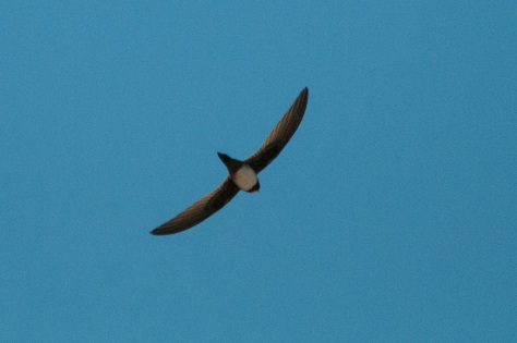 Alpine Swift, Augrabies NP