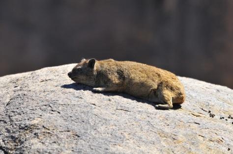 Rock Hyrax / Dassie, Augrabies NP
