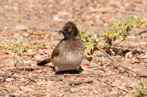 Red-eyed Bulbul, Augrabies NP