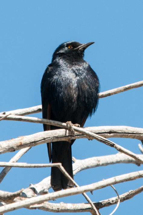 Pale-winged Starling, Augrabies NP