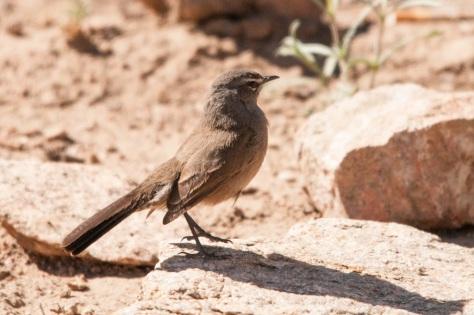 Karoo Scrub-Robin, Augrabies NP