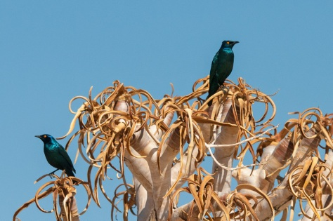 Cape Glossy Starling, Augrabies NP