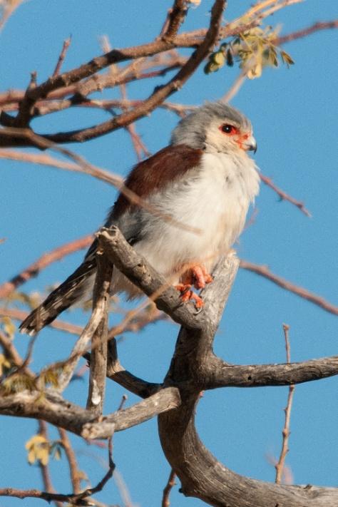 Pygmy Falcon, Augrabies NP