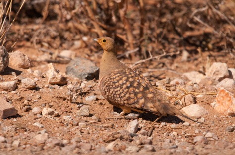 Namaqua Sandgrouse, Pofadder
