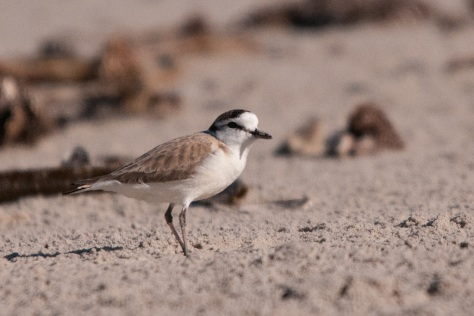 White-fronted Plover, Port Nolloth