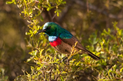 Southern Double-collared Sunbird, Namaqua NP