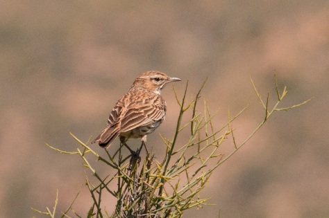 Karoo Lark in between displaying