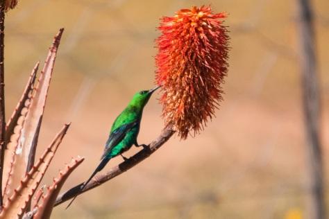 Malachite Sunbird, No-Heep