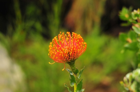 Pincushion, Kirstenbosch
