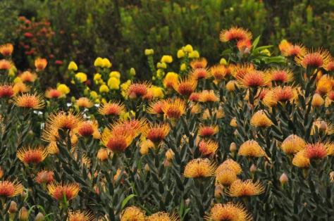 Pincushions, Kirstenbosch