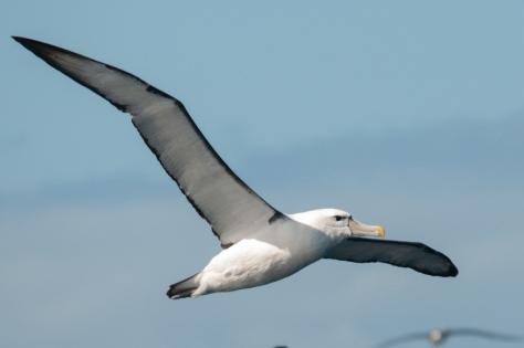 Shy Albatross, Pelagic Trip