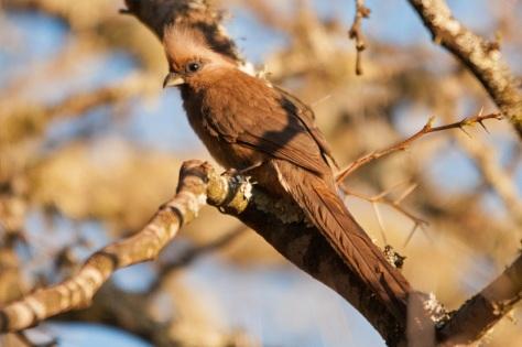 Speckled Mousebird, Bontebok NP