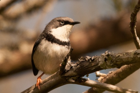 Bar-throated Apalis, Bontebok NP (not impressed by my playing his call)