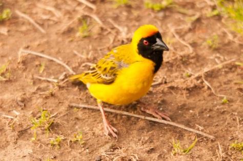 Southern Masked-Weaver, Bontebok NP