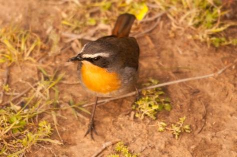 Cape Robin-Chat, Bontebok NP