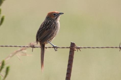 Cape Grassbird, Bontebok NP