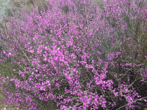 Flowering bush at Papkuilsfontein