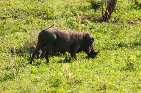 African Warthog, Kruger NP