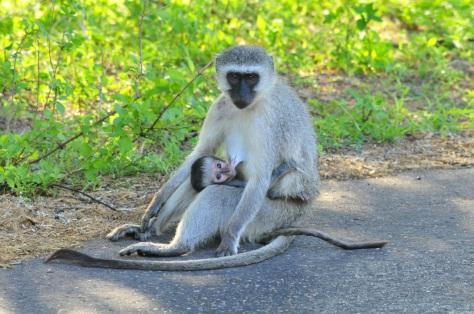 Vervet Monkey, Kruger NP