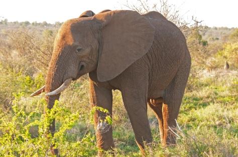 African Elephant, Kruger NP