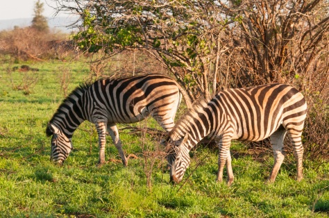 Burchell's Zebra, Kruger NP