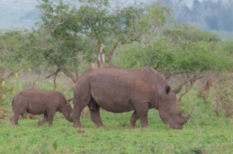 White Rhino, Kruger NP
