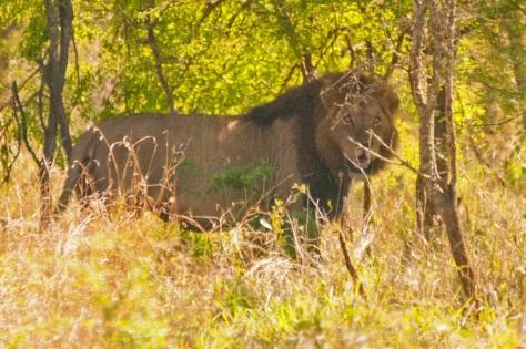 African Lion, Kruger NP
