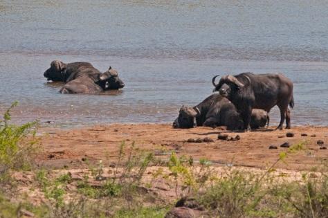 African Buffalo, Kruger NP