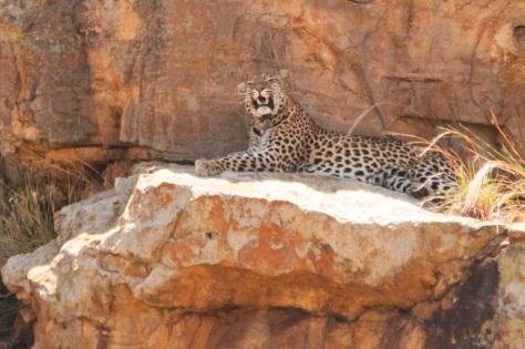 Leopard, Kruger NP