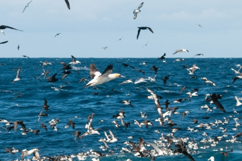 Massed seabirds