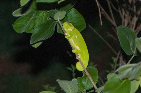 Flap-necked Chameleon, Punda Maria