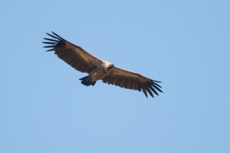 White-backed Vulture, Pafuri KNP