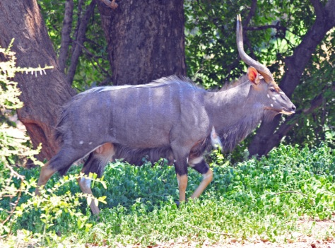 Treasure hunt : Nyala, Pafuri KNP
